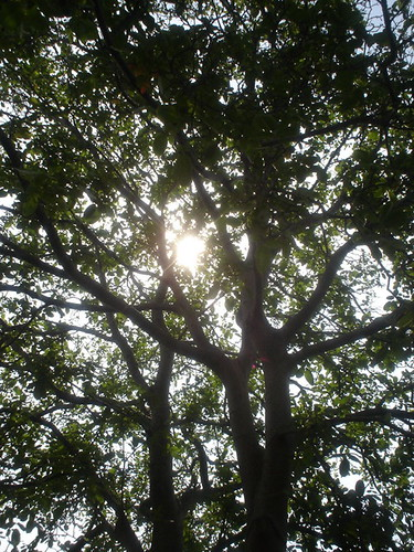 walnut tree sun