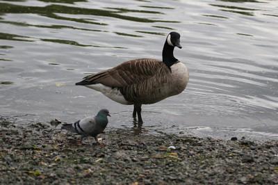 pigeon blog - big fucking goose