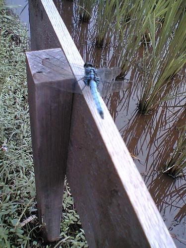 blue dragonfly2