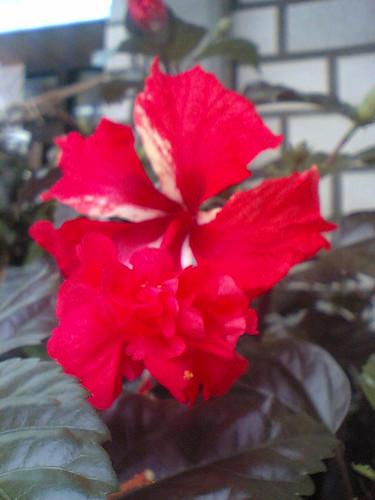 db hibiscus