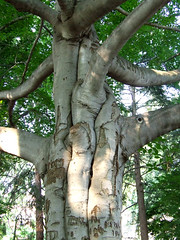 beech with three-part trunk