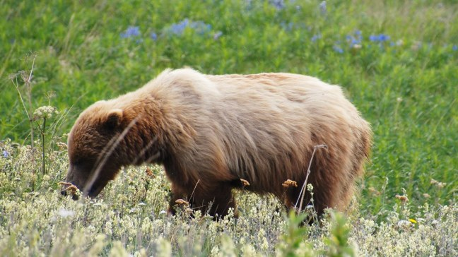 Grizzly bear along Haines Highway