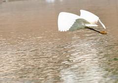 Stork flying