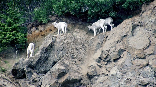 Dall sheep along Seward Highway