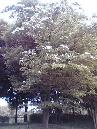 Kornus cousa tree