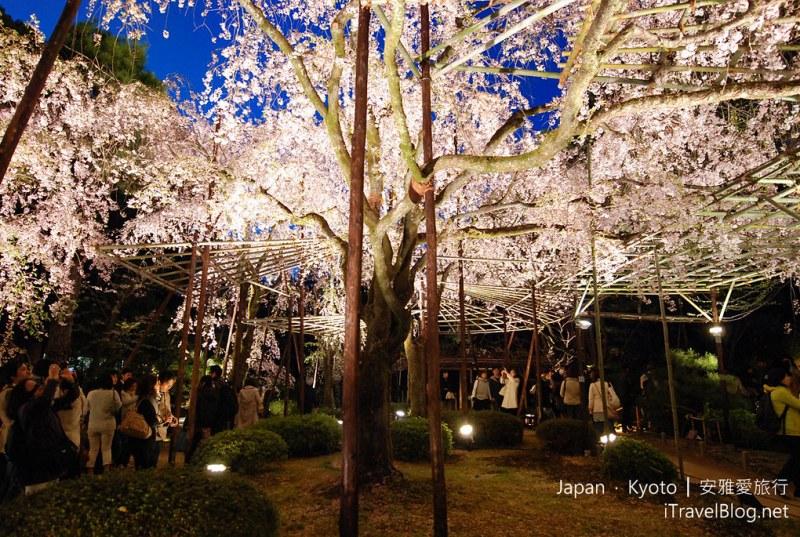 京都 平安神宫 音乐会 夜樱