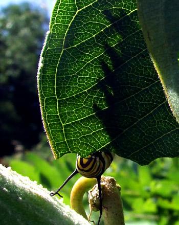 monarch caterpillar 3