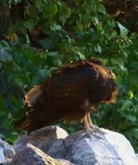 vulture 4