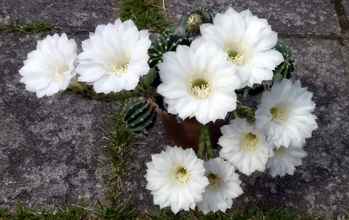Kaktus i blomst