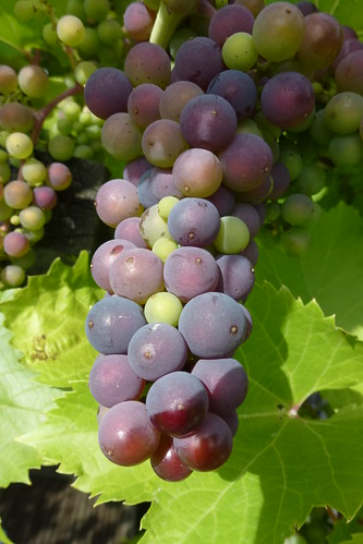 Marechal Foch grape