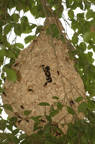 DSC_0067 Wasps' Nest, Lalbagh, 25 July 06