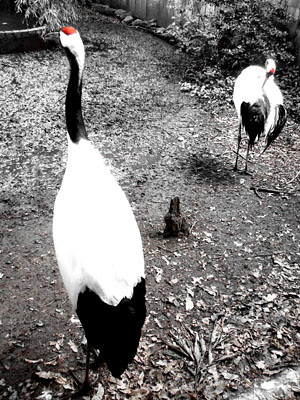 red-crowned (Japanese) cranes