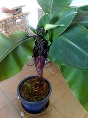 bananier en fleur5