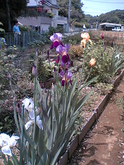 farmer's irises