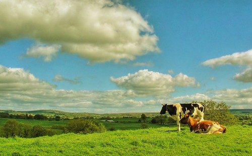 our Irish cows (considering the picturesque)
