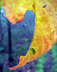 Nyssa leaf web