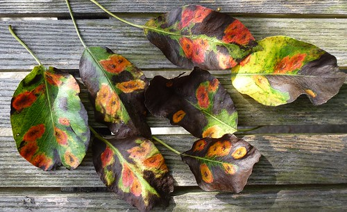 Gitterrust på pæreblade