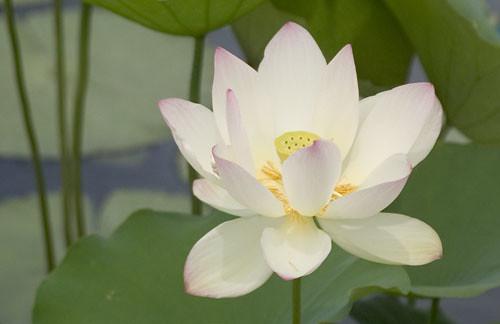 Lotus flower symbol of rebirth renaissance lotus flower symbol of rebirth mightylinksfo