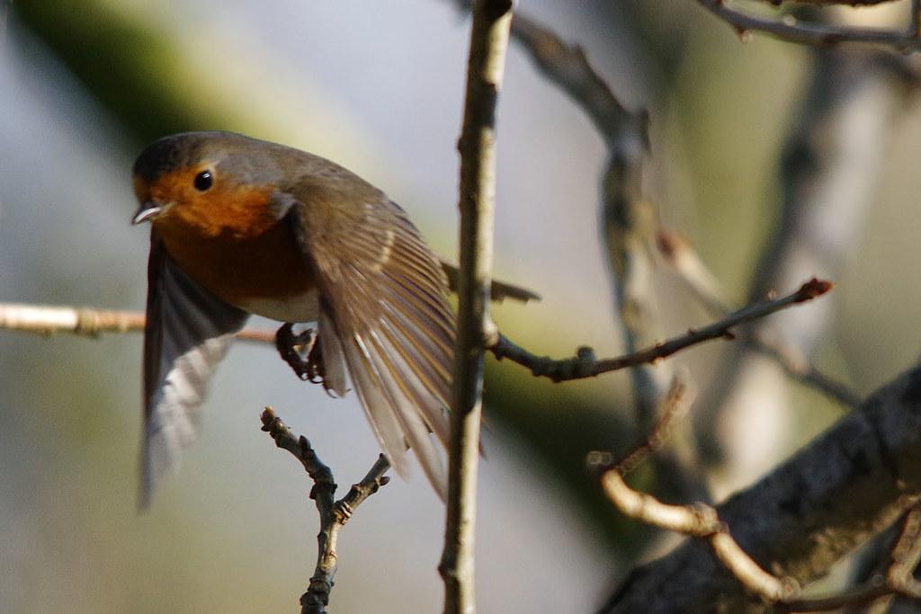 Robin in Flight