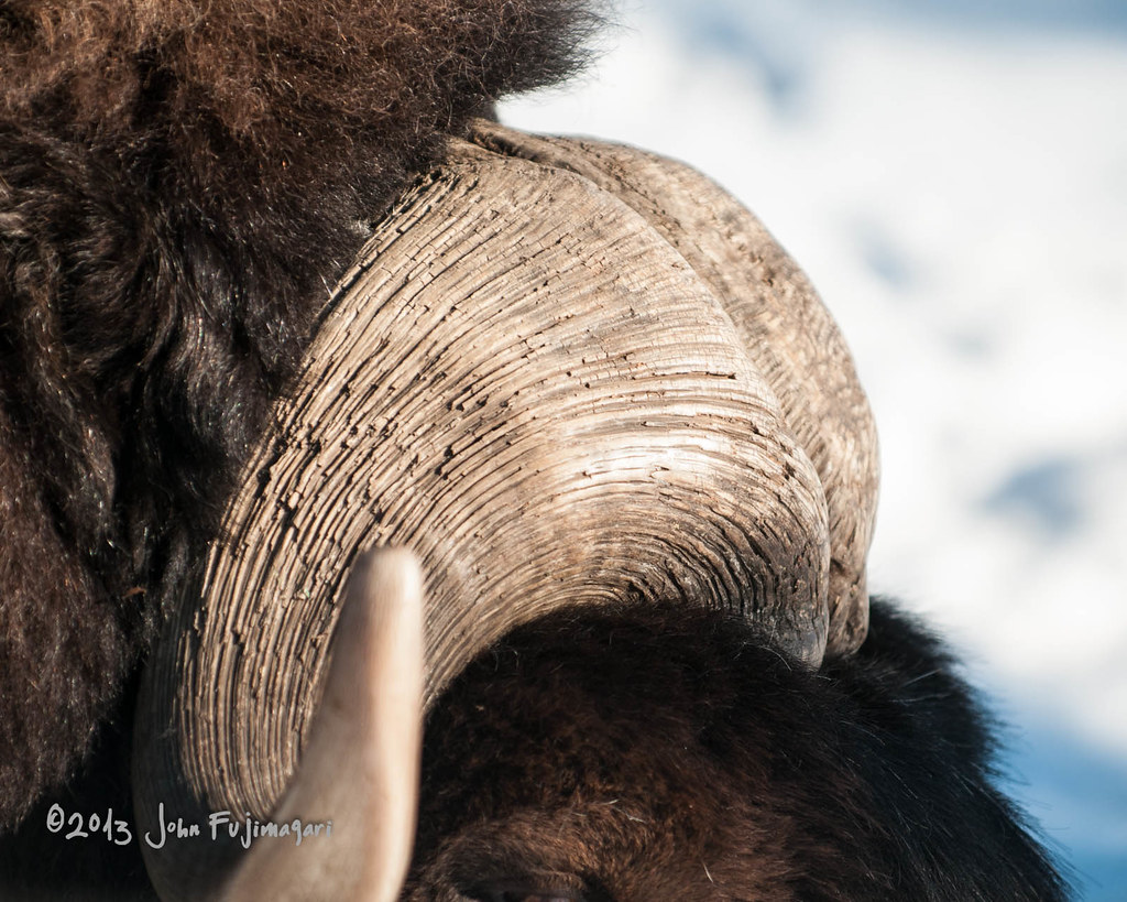 Musk Ox Horn