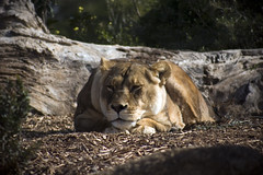 Lioness at Open-range Zoo