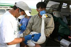 swan tagbird.190.650