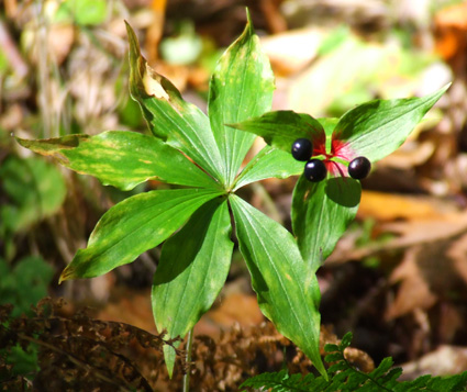 Indian cucumber root in berry