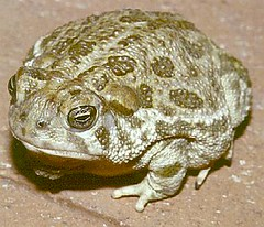 missional toad