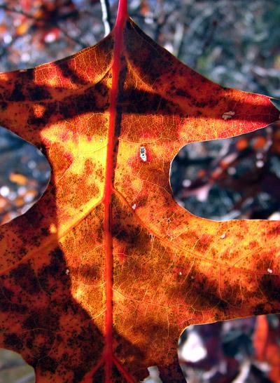 scrub oak leaf