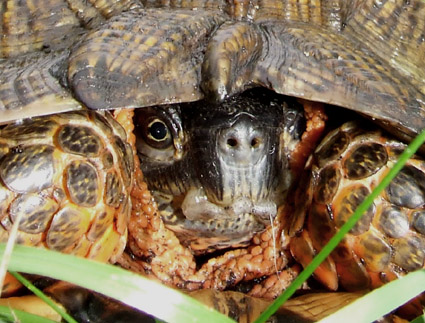 wood turtle with its head drawn in