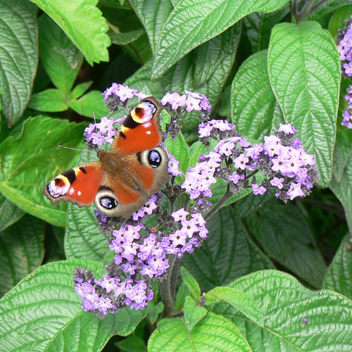 Castle Howard butterfly