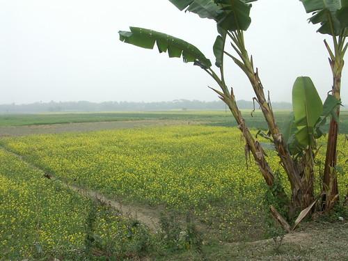 Across mustard field