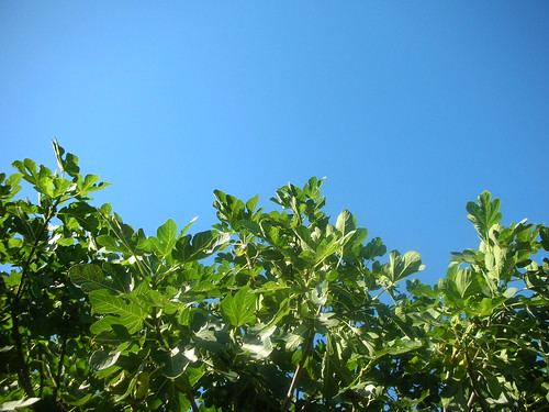 Blue Sky and Fig Tree