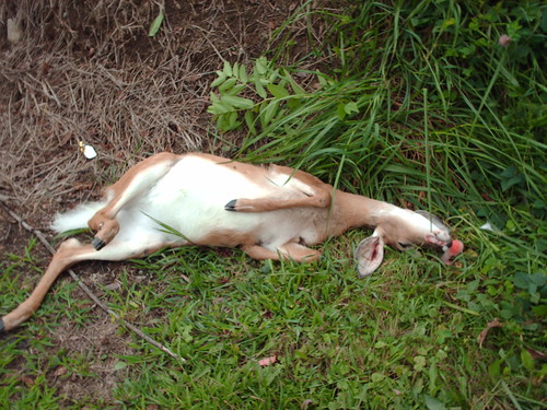 Dead fawn hit by speeding driver