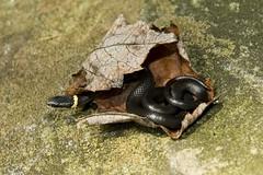 Ringneck in the leaf