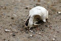 Cat skull 01