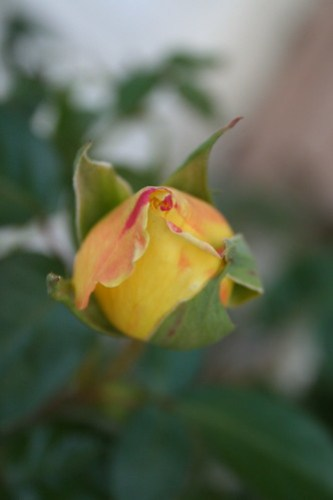 Budding Rose