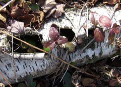 teaberries in birch log