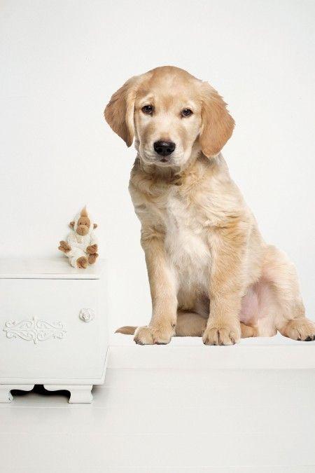 KEK Amsterdam Golden Retriever Puppy XL muursticker