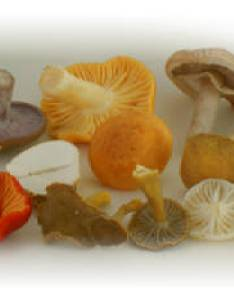 Group of edible mushrooms also wild mushroom foraging guide online rh foragingguide