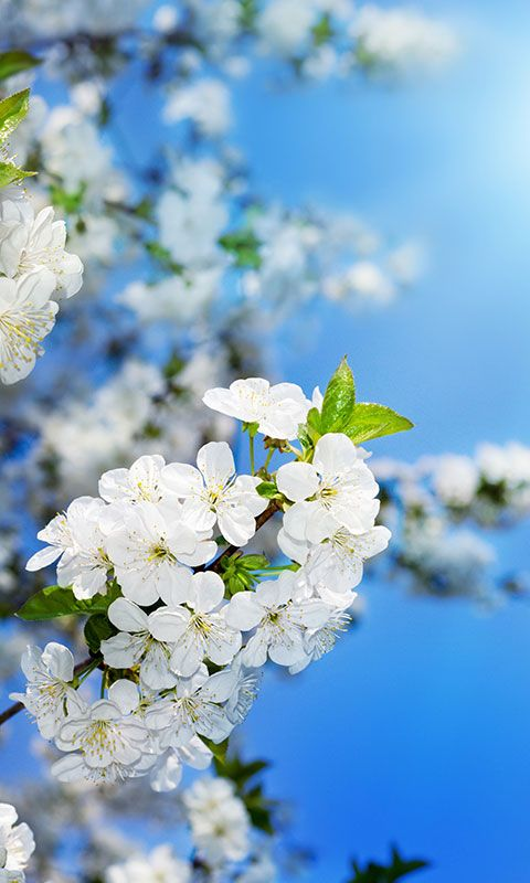 Hd Live Wallpaper In 3d Free Spring Flowers Wallpaper For Android Apk Download For