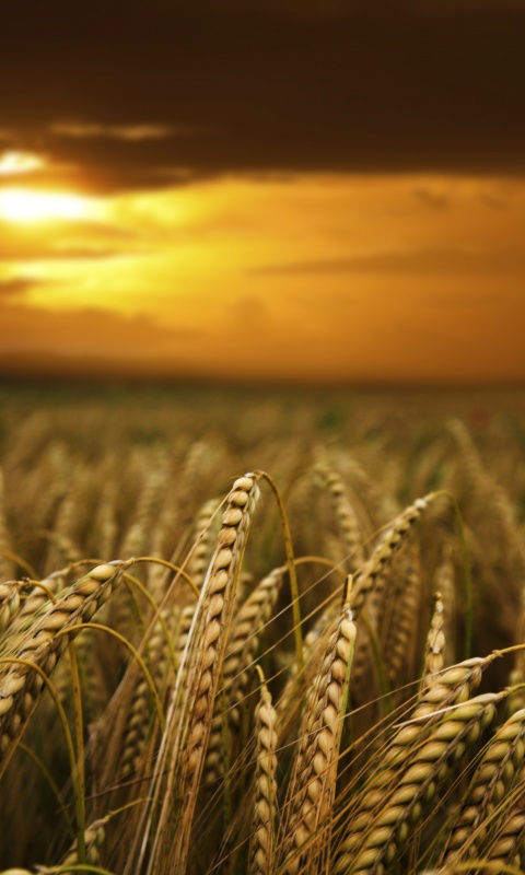 Iphone 4 Wallpapers Hd Free Download Free Wheat Fields At Dusk Wallpaper Hd Apk Download For