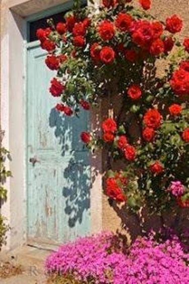 Giardinaggio Rose Rampicanti