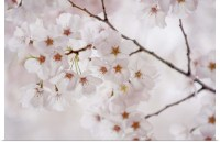 Poster Print Wall Art entitled Japanese cherry blossom | eBay