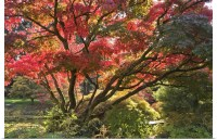 Poster Print Wall Art entitled Japanese Maple tree