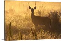 Mule deer backlit at sunrise in Grasslands National Park ...