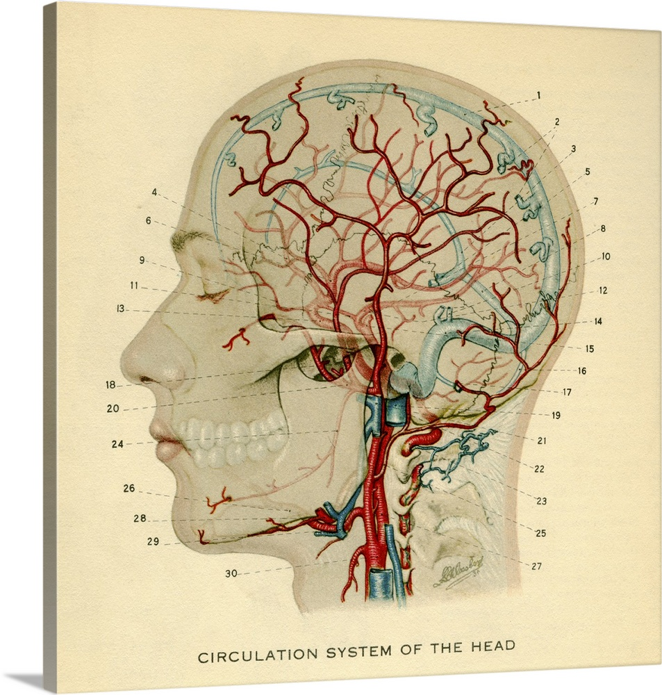 medium resolution of anatomy diagram showing crucial veins in human head and neck wall art