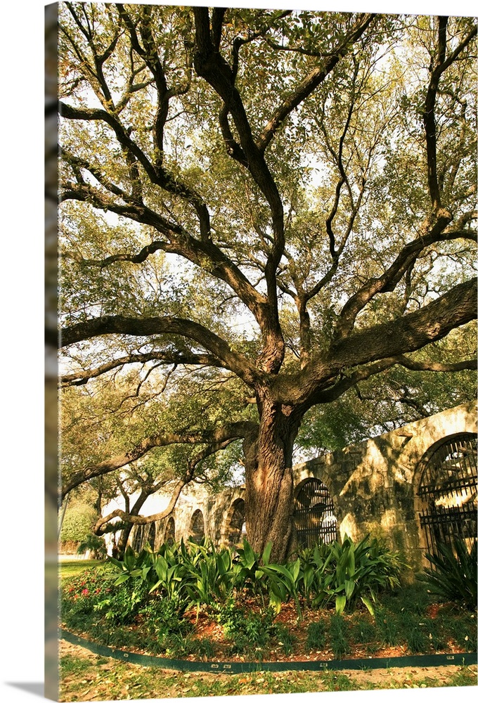 Tree And Landscaping In San Antonio Texas Wall Art
