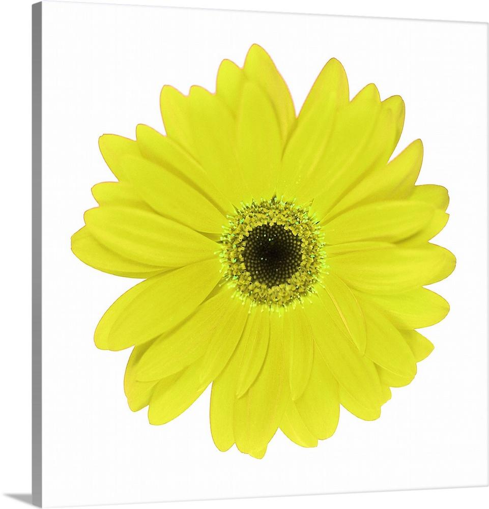Yellow Daisy Wall Art Canvas Prints Framed Prints Wall Peels ...
