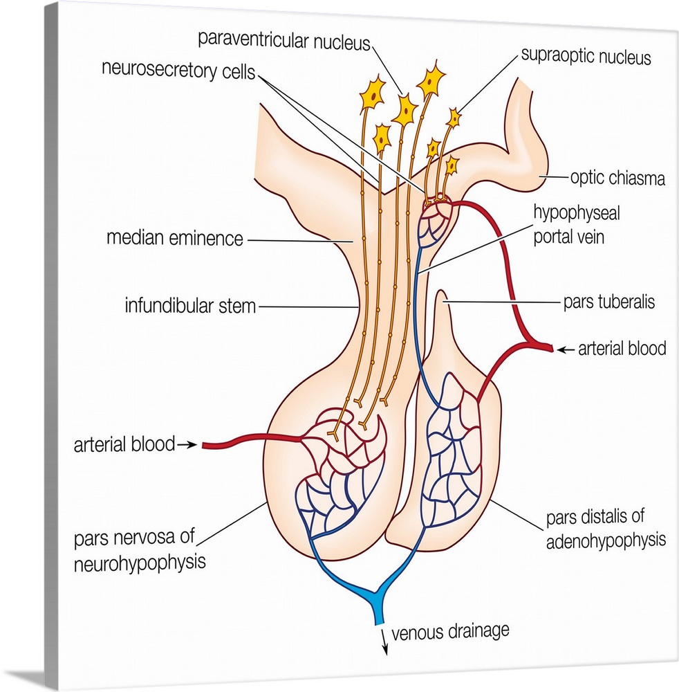 hight resolution of elements in a generalized mammalian pituitary gland endocrine system wall art
